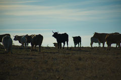 Grazing cows at sunset Stock Images