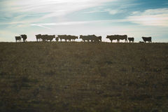 Grazing cows at sunset. A group of grazing cows at sunset, Valdesalor, Caceres, Spain stock photos
