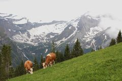 Grazing cows in the Swiss Alps Stock Photography