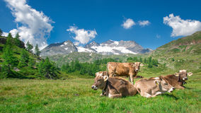 Grazing cows Royalty Free Stock Photos
