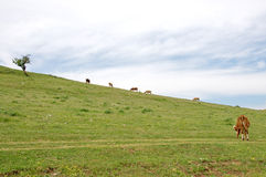 Grazing cows on the top of the hill above the lake Uvac Royalty Free Stock Image