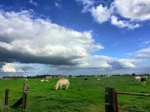 Grazing cows. Under a blue yet clouded sky Royalty Free Stock Images