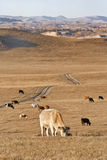 Grazing cows in a vast steppe, Inner Mongolia, China Stock Photography