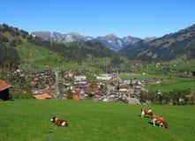 Grazing cows in Zweisimmen Stock Photo