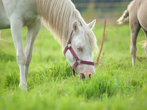 Grazing cremello  welsh  pony  mare at pasture Royalty Free Stock Photos