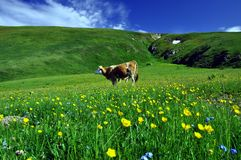 Grazing Dairy Cow stock images