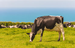 Grazing Dairy Cows Stock Photography