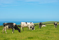 Grazing Dairy Cows Stock Image