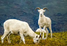 Grazing dall sheep Stock Images