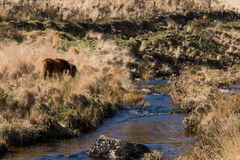 Grazing Dartmoor pony on moorland by river. Wild horse in alpine in national park in Devon, England, UK, alongside upland stream stock photo