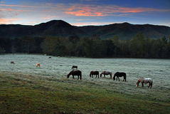 Grazing at Dawn Stock Image