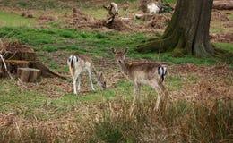 Grazing Deer Stock Images