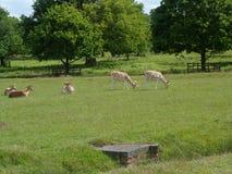 Grazing Deer in Bradgate Parkland Landscape Stock Images