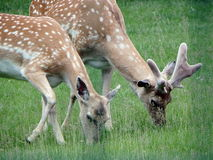 Grazing Deer daniel, Royalty Free Stock Photography