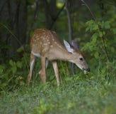 Grazing deer fawn Stock Photos