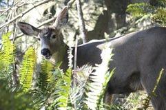 Grazing Deer, Olympic Peninsula Stock Photos