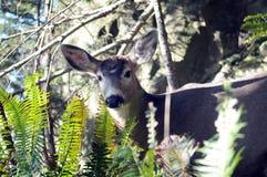 Grazing Deer, Olympic Peninsula Royalty Free Stock Photo