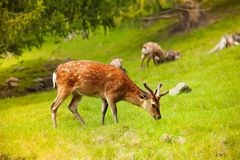 Grazing deer Royalty Free Stock Photography