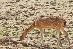 Grazing deer Royalty Free Stock Photo