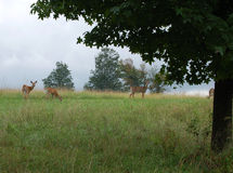 Alert grazing deer in field or meadow Stock Photography