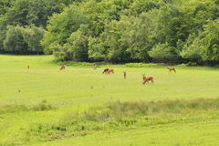 Grazing deers stag hart on the meadow Stock Image