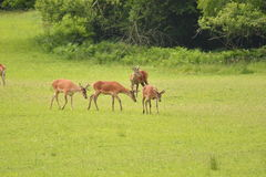 Grazing deers stag hart on the meadow Stock Photography