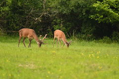 Grazing deers stag hart on the meadow Stock Photo