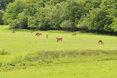 Grazing deers stag hart on the meadow Royalty Free Stock Photography