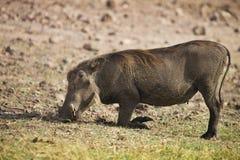 Grazing Desert Warthog, Phacochoerus aethiopicus,in Chobe National Park, Botswana Royalty Free Stock Images