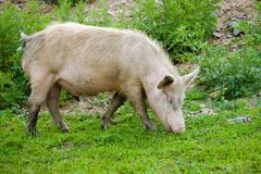 Grazing dirty pig. Dirty young pig grazing on green grass stock photo