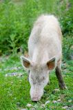 Grazing dirty pig. Dirty young pig grazing on green grass royalty free stock photos