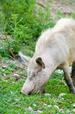 Grazing dirty pig. Dirty young pig grazing in green ravine royalty free stock photography
