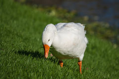 Grazing domestic goose Stock Photography