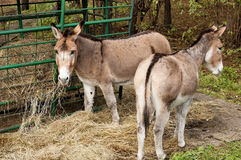Grazing donkesy Royalty Free Stock Photo