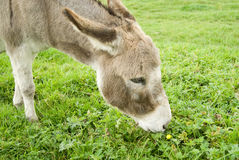 Grazing Donkey Stock Photo