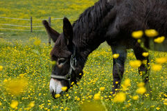 Grazing Donkey. In a yellow Flower Field Stock Image
