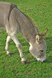 Grazing donkey Stock Images