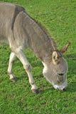 Grazing donkey stock images