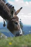 Grazing_donkey_with_cowbell Stock Photo