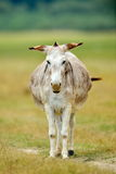 Grazing donkey on rural grassland Royalty Free Stock Image