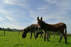 Grazing donkeys Royalty Free Stock Photo