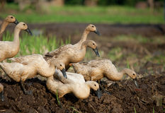 Grazing Ducks. Image of Grazing Ducks in the Paddy Field Stock Photography