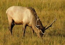 Grazing on Early Morning. Bull Elk Grazing on Morning Light royalty free stock photo