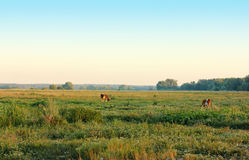 Grazing early in the morning Royalty Free Stock Images
