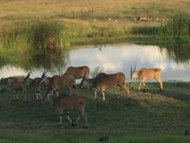 Grazing Eland. Near a watering hole just before sunset in the Mukuvusi Woodlands, Harare, Zimbawe Royalty Free Stock Image