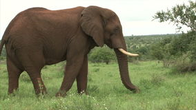 Grazing elephant in the bush stock footage
