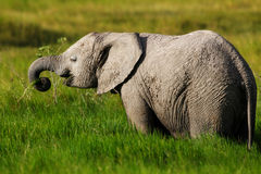 Grazing Elephant. Elephant in the deep grass in the swamp of Amboseli National Park, Kenya stock photos
