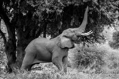 Grazing Elephant. An Elephant reaches for the good leaves in the higher part of the tree Stock Photo