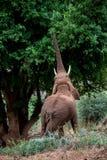 Grazing Elephant Royalty Free Stock Image