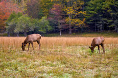 Grazing Elk Royalty Free Stock Photo